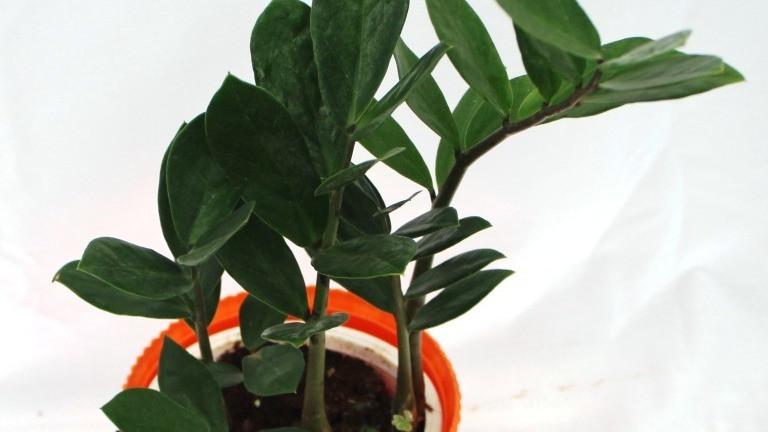 20 Best Low Maintenance Plant - Zamioculas Zamifolia (ZZ) Plant
