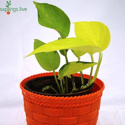 Best4 - Good Luck Plants Combo