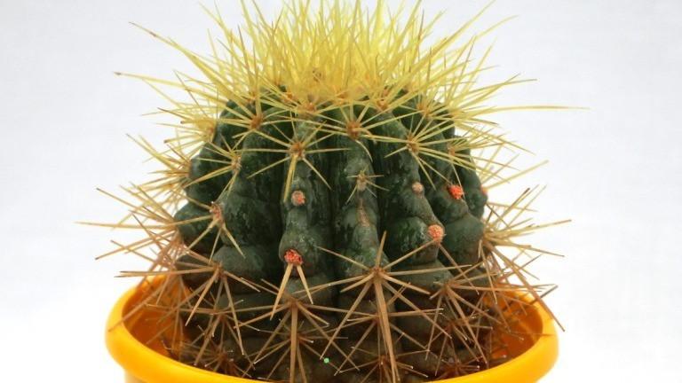 Best Cactus Plants - Barrel Cactus