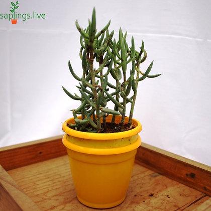 Crassula Tetragona Succulent