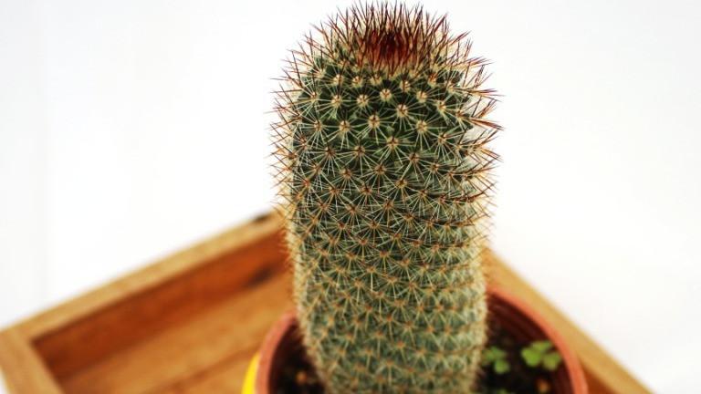20 Best Cactus Plants -  Mammillaria Bombycina (Pincushion Cactus)