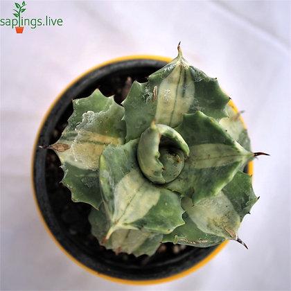 Agave Tropicana Plant