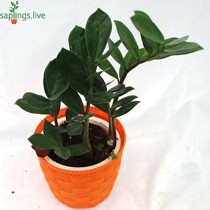 Zamioculas Zamifolia (ZZ) Plant