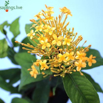 Ixora Flower plant (Yellow) or Jungle Geranium
