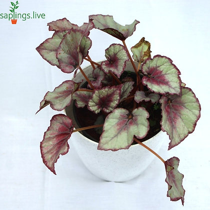 Best4 - Colorful Foliage Plants House for Indoor