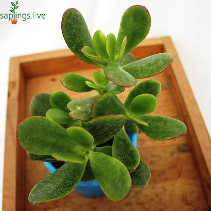 Jade Plant (Big Leaves)