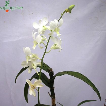 Dendrobium Orchid Plant 'White'