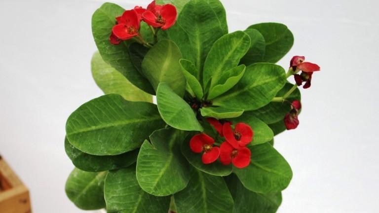 20 Best Low Maintenance Plant - Euphorbia mili