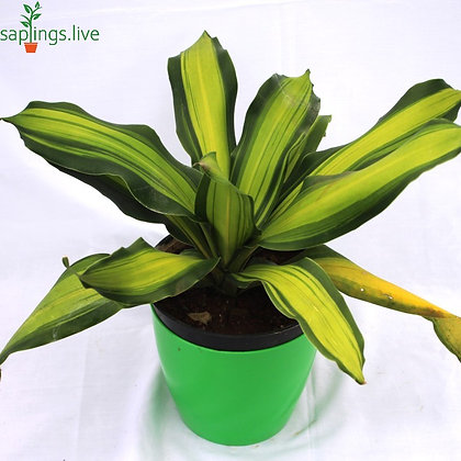 Dracaena Fragrans Masangeana (Corn Plant) Big Leaves