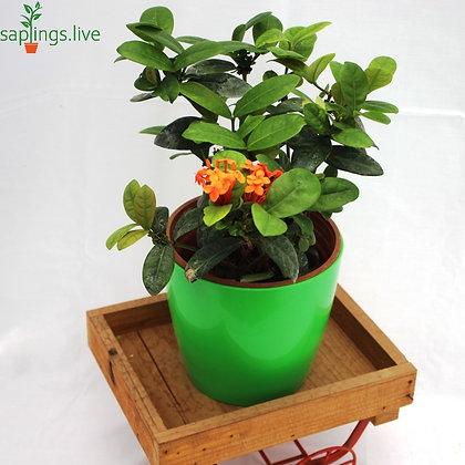 Ixora Flower plant (Orange) or Jungle Geranium