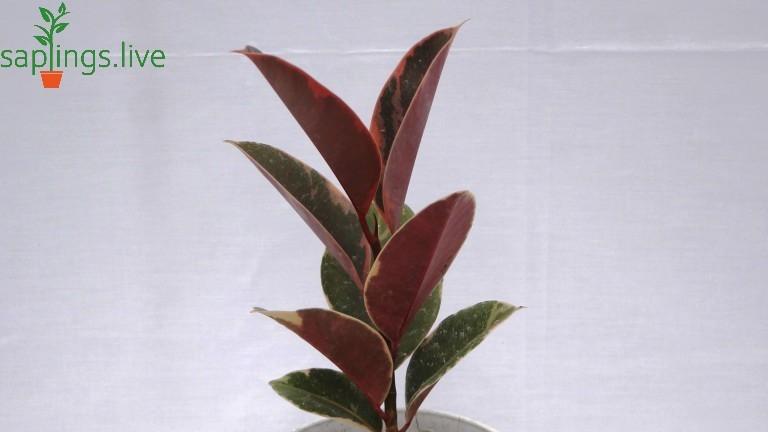 20 Best Low Maintenance plant - Ficus elastica (Rubber Plant)
