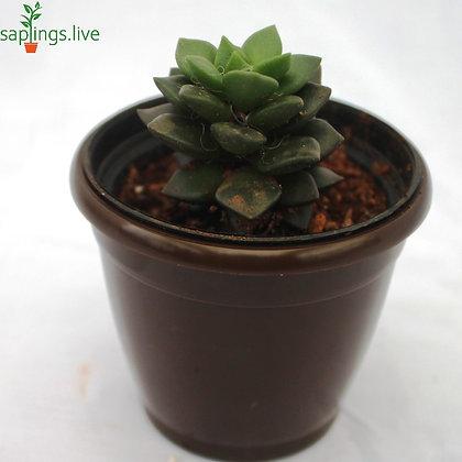 Best3 - Succulent Plants Combo Pack