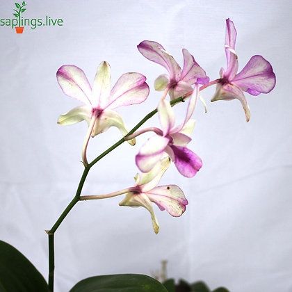 Dendrobium Orchid Plant 'Pink-White'