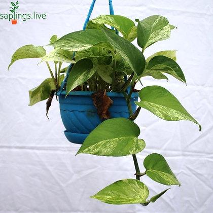 Money Plant Variegated Hanging
