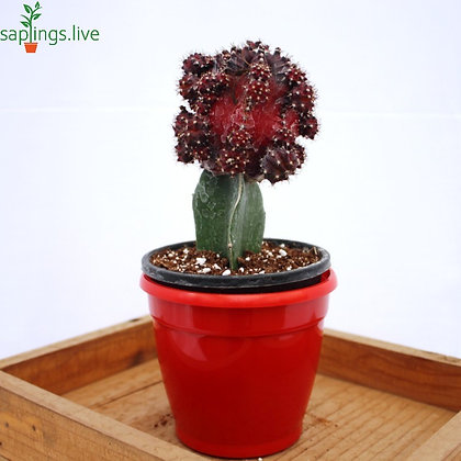 Moon Cactus or Ruby Ball Cactus (Dark -Red) Plant