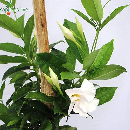 Mandevilla Plant 'White'