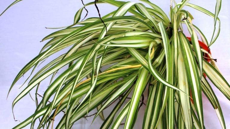 20 Best Low Maintenance Plant - Ribbon moisture (Spider Plant)