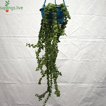 Elephant Bush, Jade Plant 'Hanging'