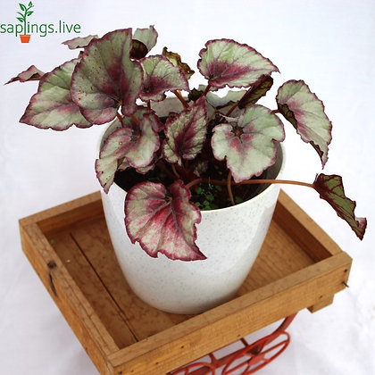 Rex Begonia (Painted-leaf begonia)