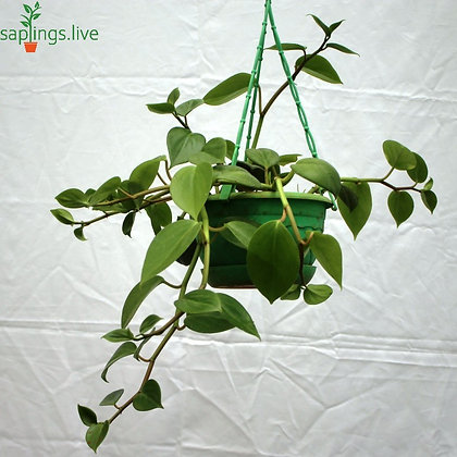Dischidia Oiantha Hanging Plant