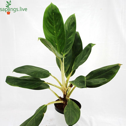 Aglaonema Stripes Plant