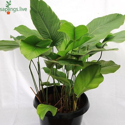 Calathea lutea or Cuban Cigar Plant