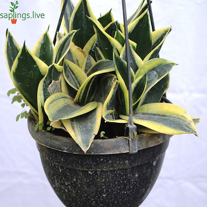 Jute Milt Sansevieria Plant 'Hanging'