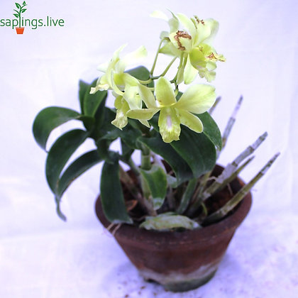Dendrobium Orchid Plant 'Yellow-White'
