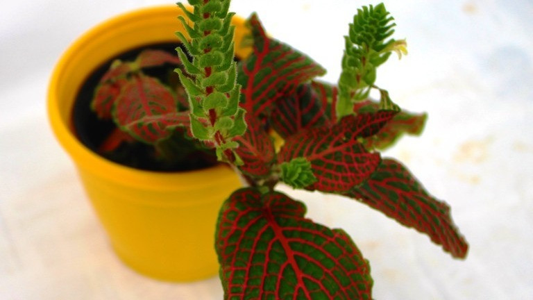 20 Best Office Plant - Fittonia Albivenis (Pink Angel)