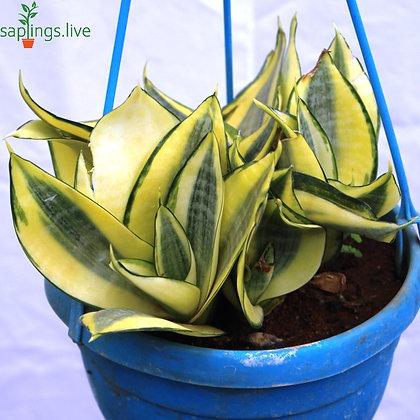 Lush Green 'Sansevieria'Plant 'Hanging'