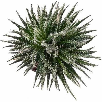 Aloe Haworthioides Plant