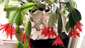 Best Cactus Plants - Christmas Cactus