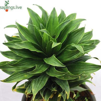 Dracaena Janet Craig Compacta Plant