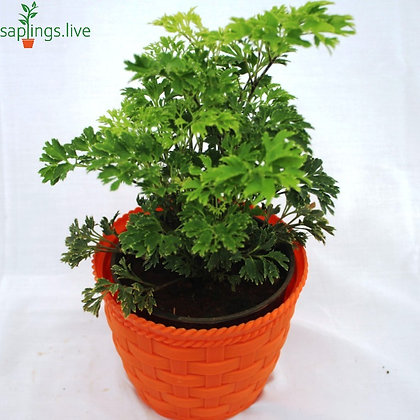 Aralia (Green) Plant