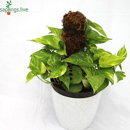 Money Plant Variegated with moss stick 'Small'