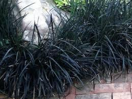 20 Best Low Maintenance Plant - Black Mando Grass
