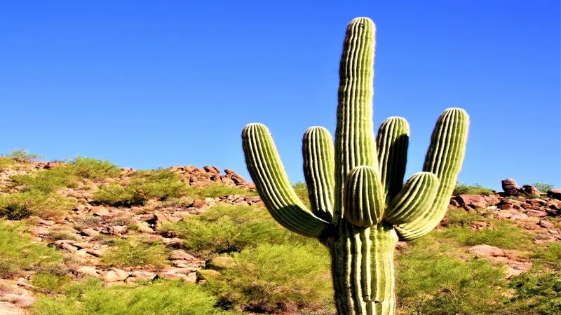 Best 20 Cactus Plant - Saguaro Cactus