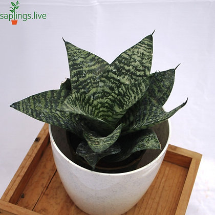 Sansevieria trifasciata 'Hahnii' Plant