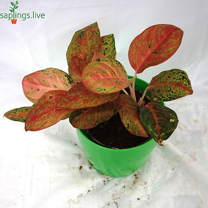 Aglaonema dud anyamanee (Green-Pink)
