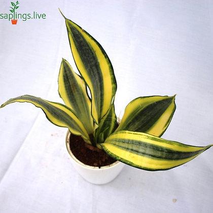 Sansevieria trifasciata 'Golden Hahnii' Plant