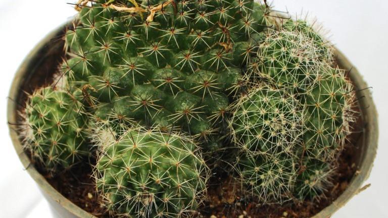 20 Best Cactus Plants - Rebutia Cactus