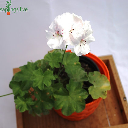 Ivy Geranium House Plant (White)