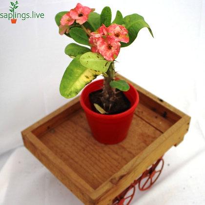 Euphorbia milii f. Lurea ( Pink Crown of Thorns)