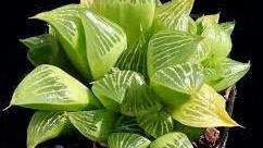 Best Cactus Plants - Haworthia Retusa (Star Cactus)
