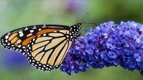 20 Best Low Maintenance Plant - Butterfly Bush