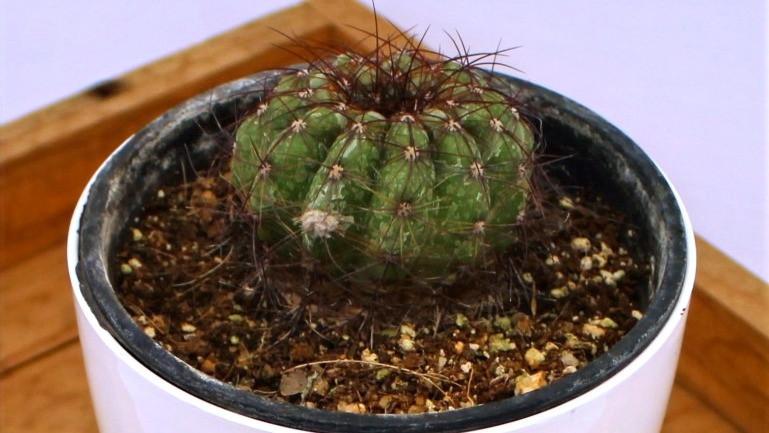20 Best Cactus Plants - Parodia Cactus