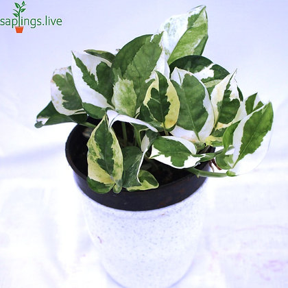 Variegated Money Plant Marble Prince