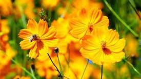 20 Best Low Maintenance Plants - Cosmos Flowering Plant