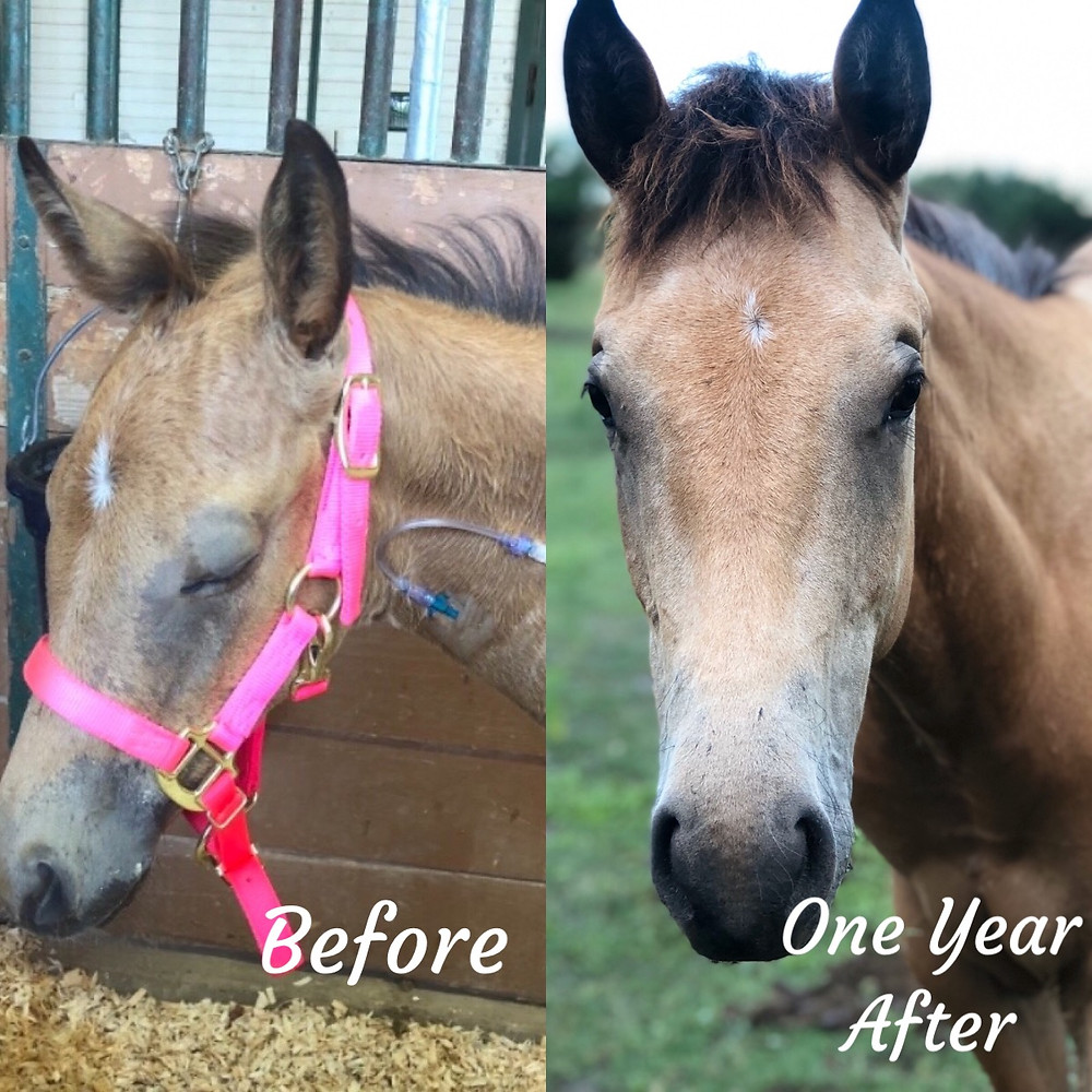 Buckskin filly before and after illness