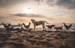 dogs-chicken-pets-2020-animals-lovina-bali-ku
